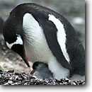 Stock photo. Caption: Gentoo penguins, adult and chick Hannah Point,  Livingson Island Shetland Islands, Antarctic Peninsula Southern Ocean, Antarctica -- Keywords: