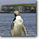 Stock photo. Caption: Yellow-eyed penguins Enderby Island Auckland Islands New Zealand -- Keywords: