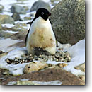 Stock photo. Caption: Adelie mother & chicks Cape Russell Ross Sea Southern Ocean, Antarctica -- Keywords: