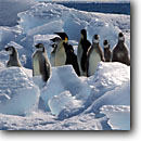Stock photo. Caption: Emperors marching through ice Cape Washington Ross Sea Southern Ocean, Antarctica -- Keywords: