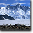 Stock photo. Caption: Adelie Rookery at Cape Hallett Mount Hershel,  Admiralty Range Ross Sea Southern Ocean, Antarctica -- Keywords: