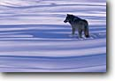 Stock photo. Caption: Gray wolf    C.A. Carlton County Minnesota -- wildlife united states america american endangered speicies reintroduced wolves animals animal mammal mammals snow winter shadows single grace power cunning hunting prowess skill concentration landscape landscapes sunny wolfs northern north midwest