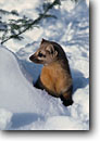 Stock photo. Caption: Pine martin     CA Carlton County Minnesota -- wildlife united states animal animals mammals mammal snow winter furry martins weasel family weasels Martes