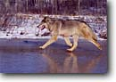 Stock photo. Caption: Gray wolf      CA Carlton County Minnesota -- wildlife united states wolves animals animal mammal mammals snow winter shadows single grace power cunning hunting prowess skill concentration landscape landscapes animal animals running ice grey threatened species