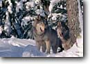 Stock photo. Caption: Gray wolves (captive) Carlton County Minnesota -- wildlife united states wolf animal animals mammal mammals snow winter fresh trees forest forests northern north woods reintroduced pair landscape landscapes adult portrait portraits threatened species grey