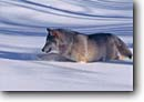 Stock photo. Caption: Gray wolf captive Carlton County Minnesota -- wolfs wolves mammal mammals hunting hunter winter cold united states america animal animals grey threatened adult species habitat deep snow predator predators furry fur bearing landscape landscapes Canis lupus
