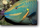 Stock photo. Caption: Stoplight parrotfish Little Cayman Island Cayman Islands Caribbean Sea -- Caymen Sparisoma viride underwater fish fishes scuba diving eyes detail details closeup closeups saltwater sealife photography portrait portraits scale scales parrotfishes tropical marine